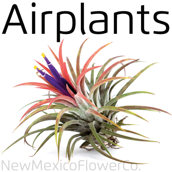 Buy Airplants near Santa Fe