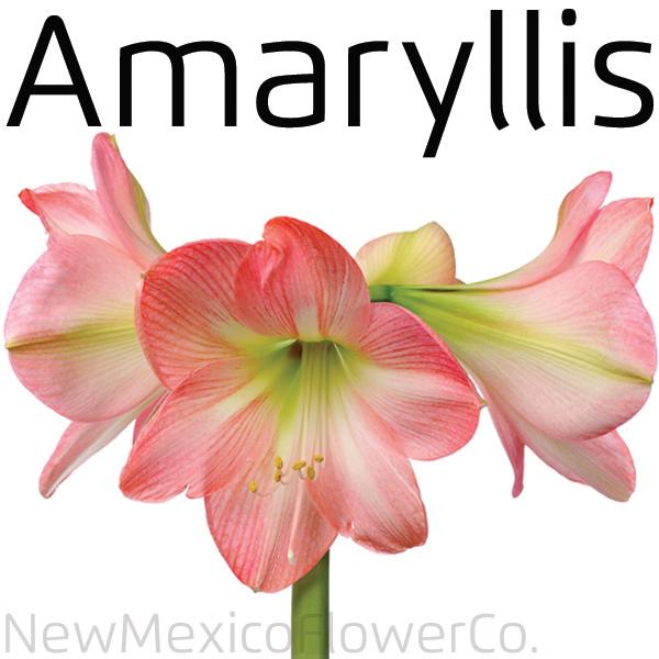 Buy Amaryllis flowers Santa Fe