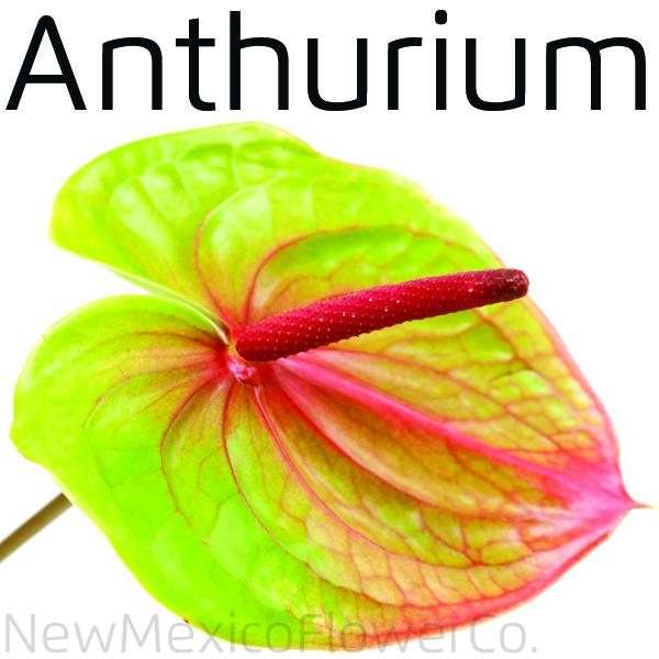 Where can I buy Anthurium near Santa Fe