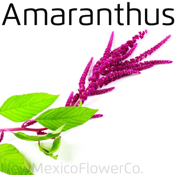 Fresh Amarnathus flowers for wedding bouquets
