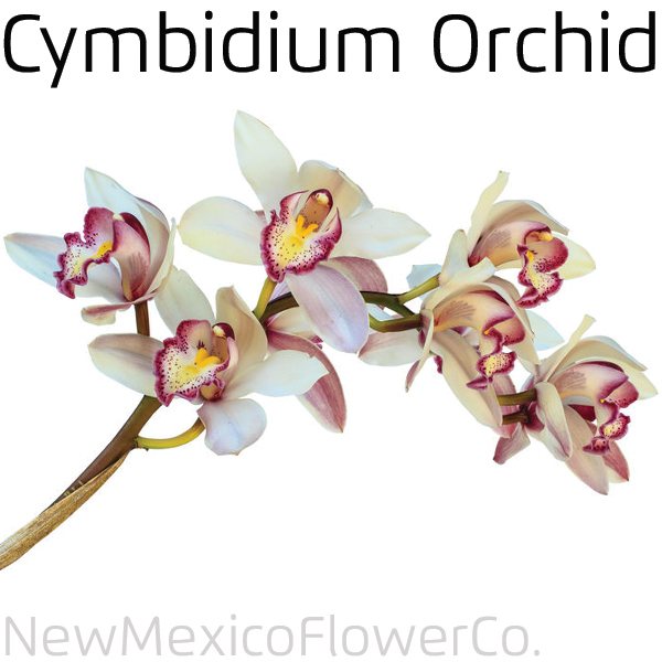 Cymbidium Orchid For Sale in ABQ