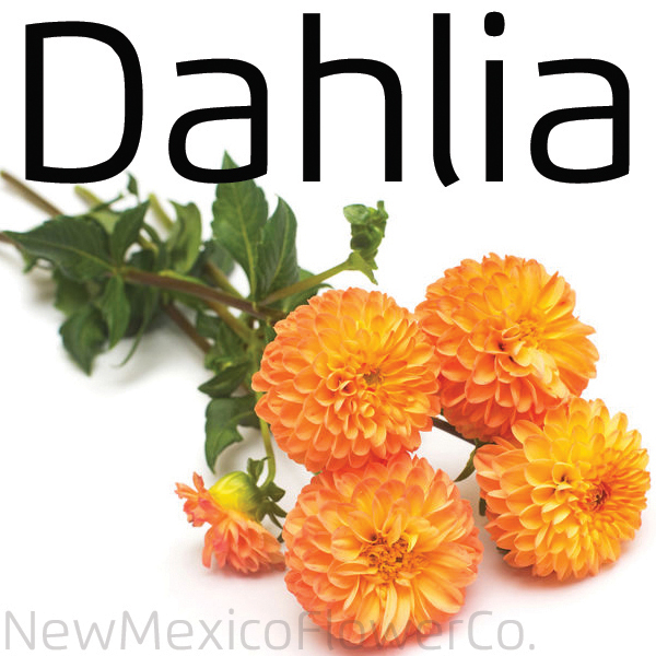 Buy Dahlia in Placitas, NM