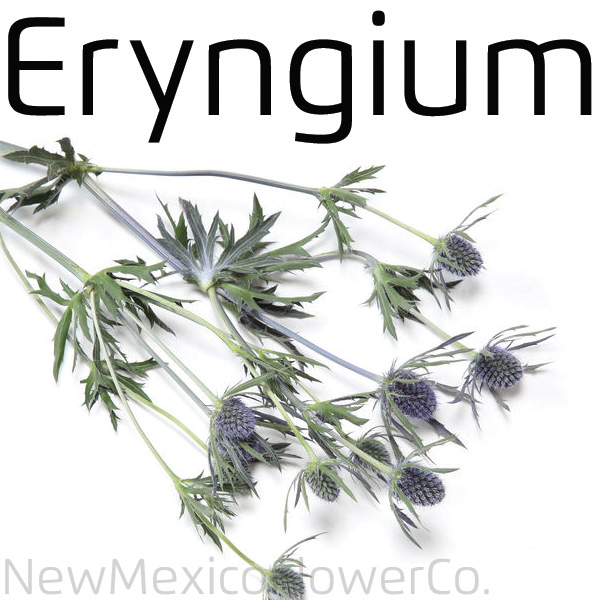 Buy Eryngium in Santa Fe