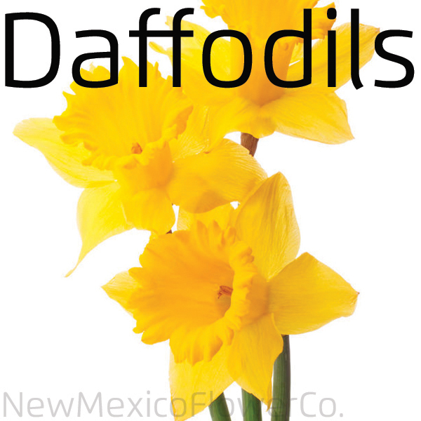 Where can I buy Daffodils in ABQ