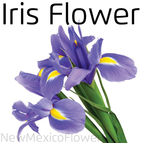 Where can I buy Iris in Placitas